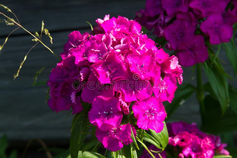 土耳其康乃馨美丽的花在夏天晴朗的庭院里 库存照片