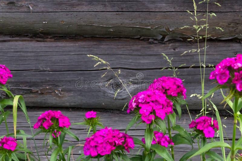 土耳其康乃馨美丽的花在夏天晴朗的庭院里 免版税图库摄影