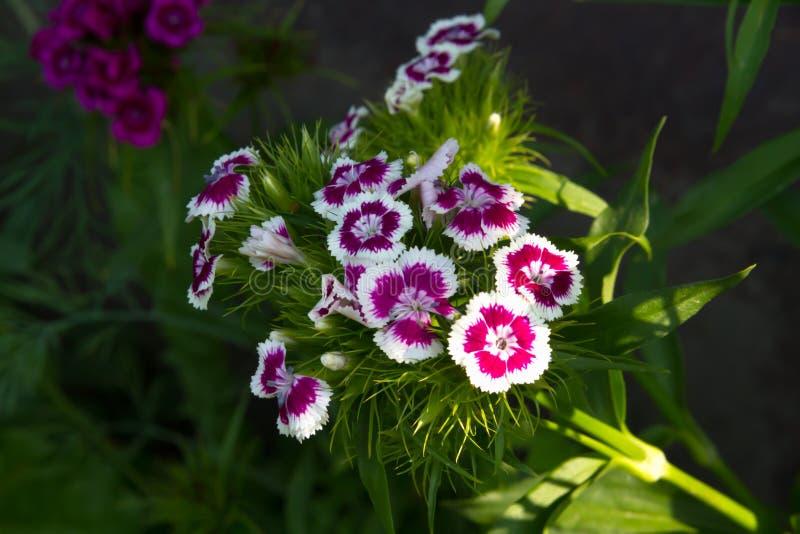 土耳其康乃馨美丽的花在夏天晴朗的庭院里 免版税库存照片