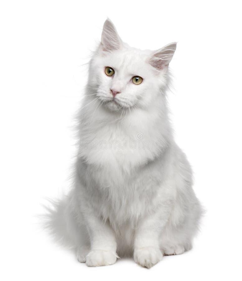 土耳其18个安哥拉猫的月 库存照片