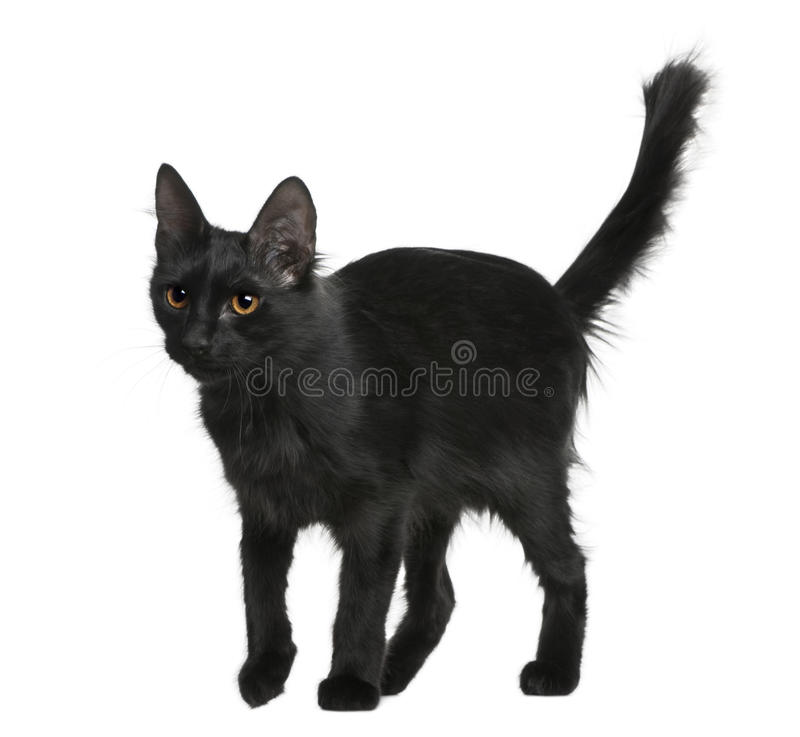 土耳其18个安哥拉猫的月 免版税库存照片