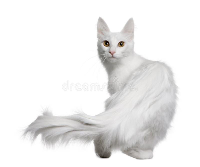 土耳其18个安哥拉猫的月 库存图片