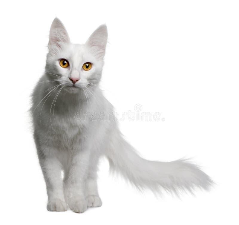 土耳其18个安哥拉猫的月 免版税库存图片