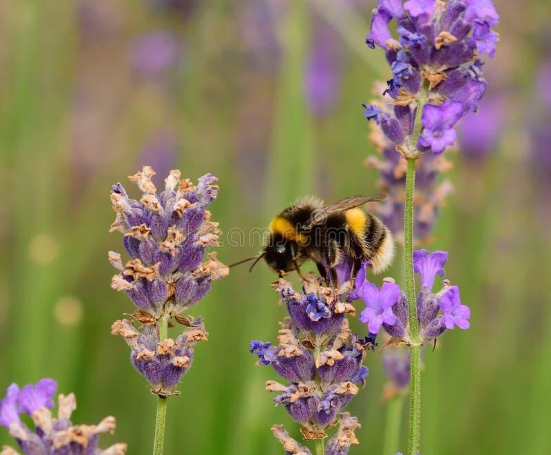 土蜂和levender 库存照片