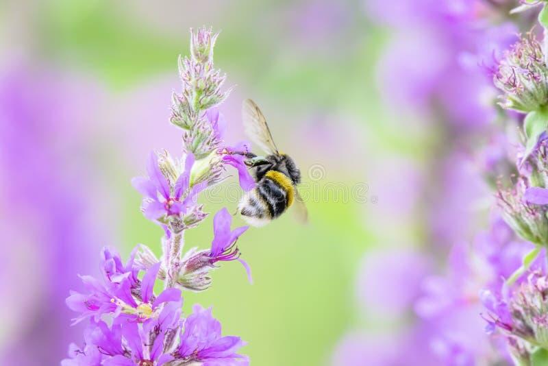 土蜂在飞行中与可看见的翼运动 英国蜂蜜酒 免版税库存图片