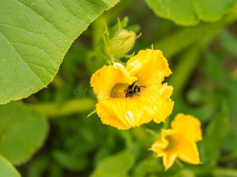 土蜂坐黄色南瓜花和colecting的polle 免版税图库摄影