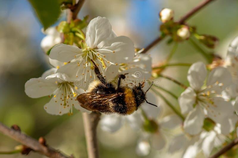土蜂授粉的白色苹果花 免版税图库摄影