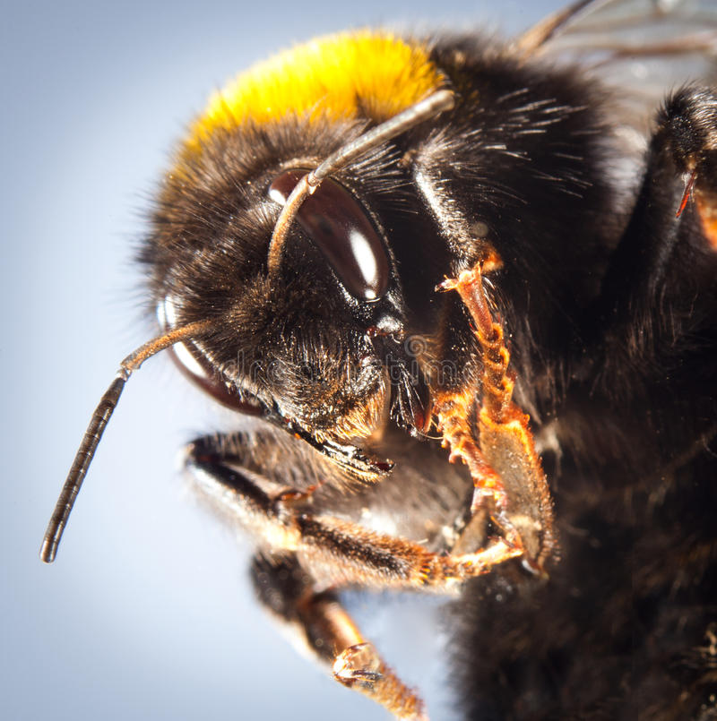 土蜂接近  库存照片