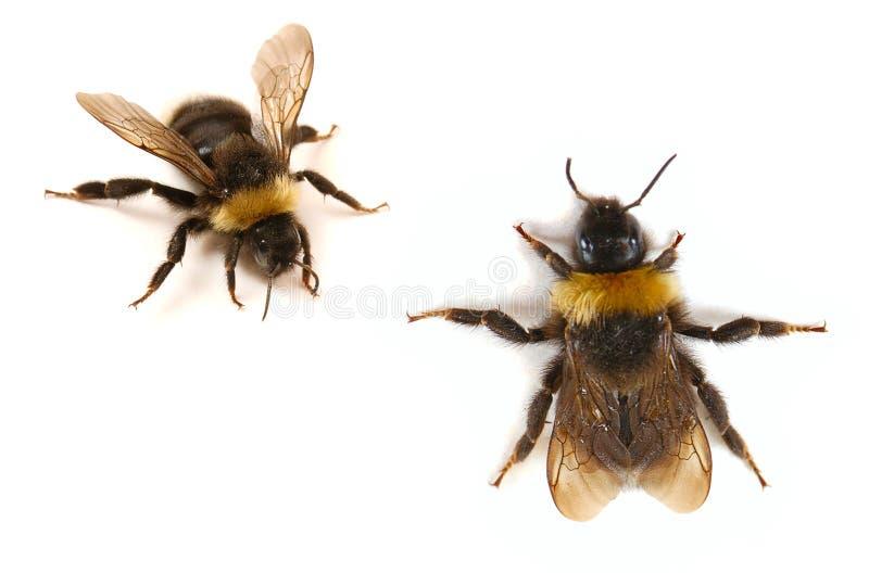 土蜂接近  免版税库存照片