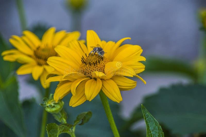 土蜂收集在一朵黄色花的花粉 免版税库存图片