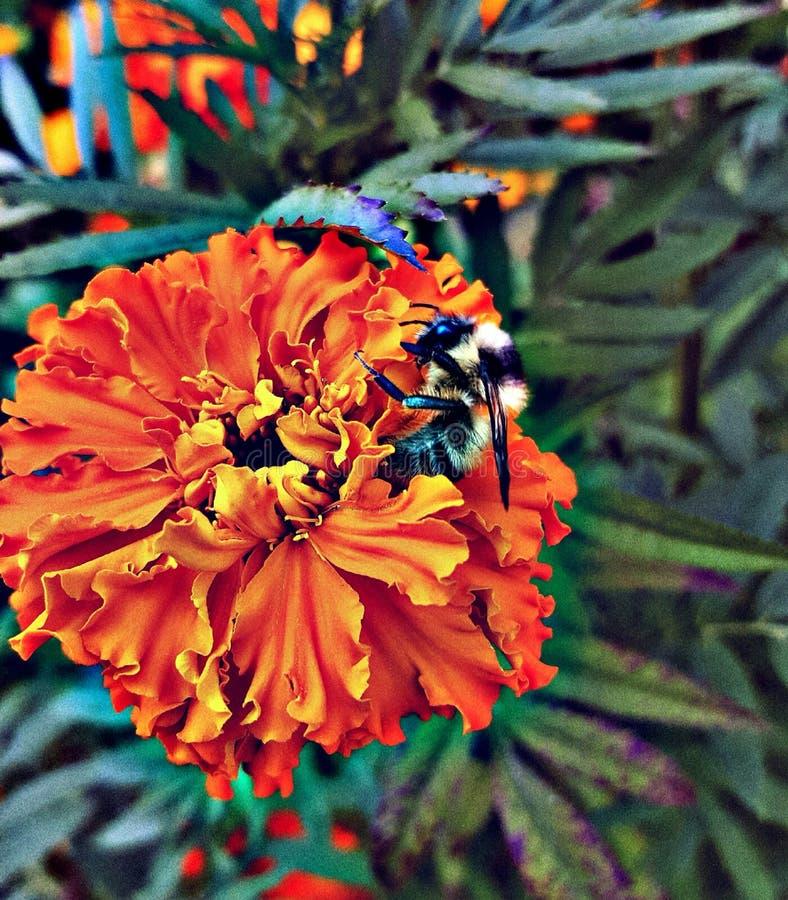 土蜂收集在万寿菊花的花蜜 免版税图库摄影