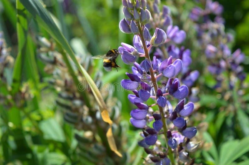 土蜂飞行到羽扇豆 库存图片