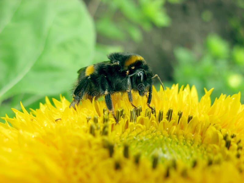 土蜂 免版税库存照片