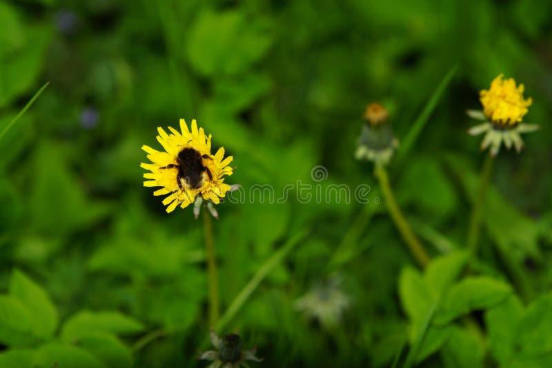 在蒲公英开花的大土蜂