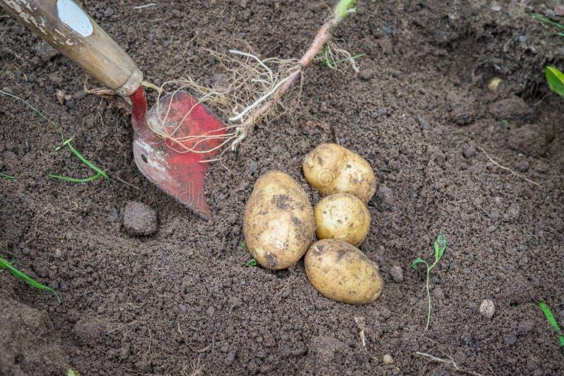 土豆和一把铁锹在土壤 免版税图库摄影