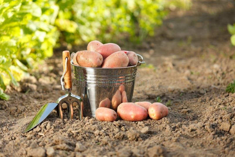 土豆和园艺工具 免版税图库摄影