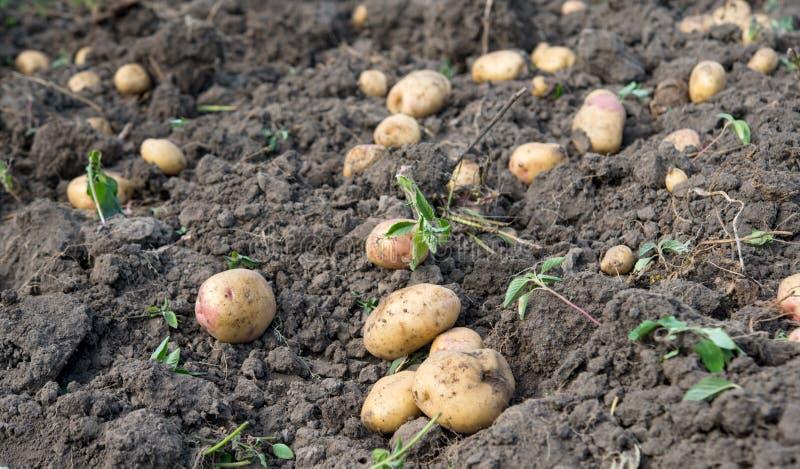 土豆庄稼 库存照片