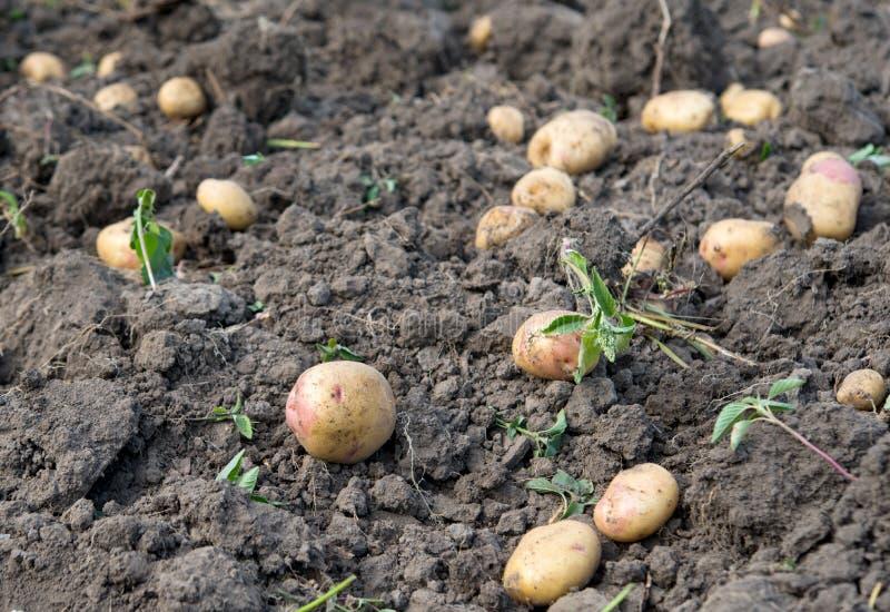 土豆庄稼 免版税库存照片