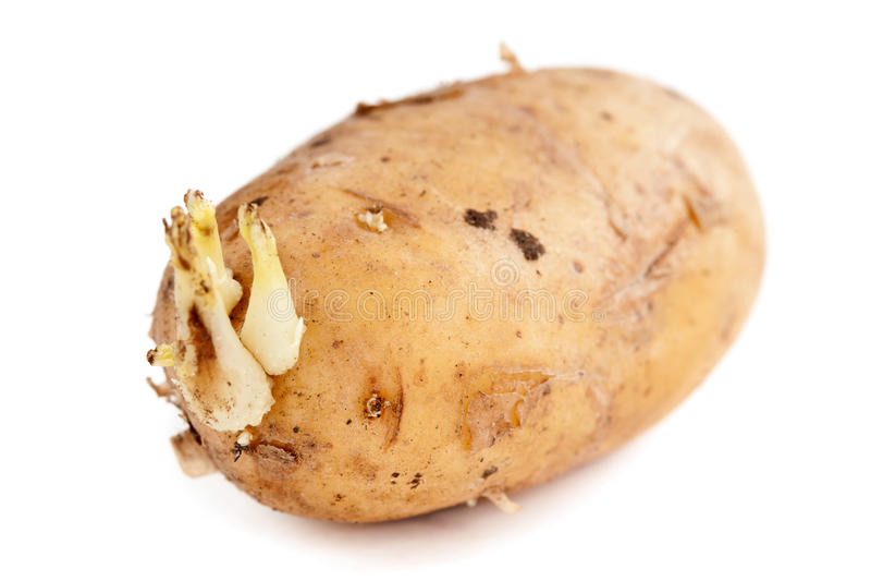 土豆新芽 库存图片