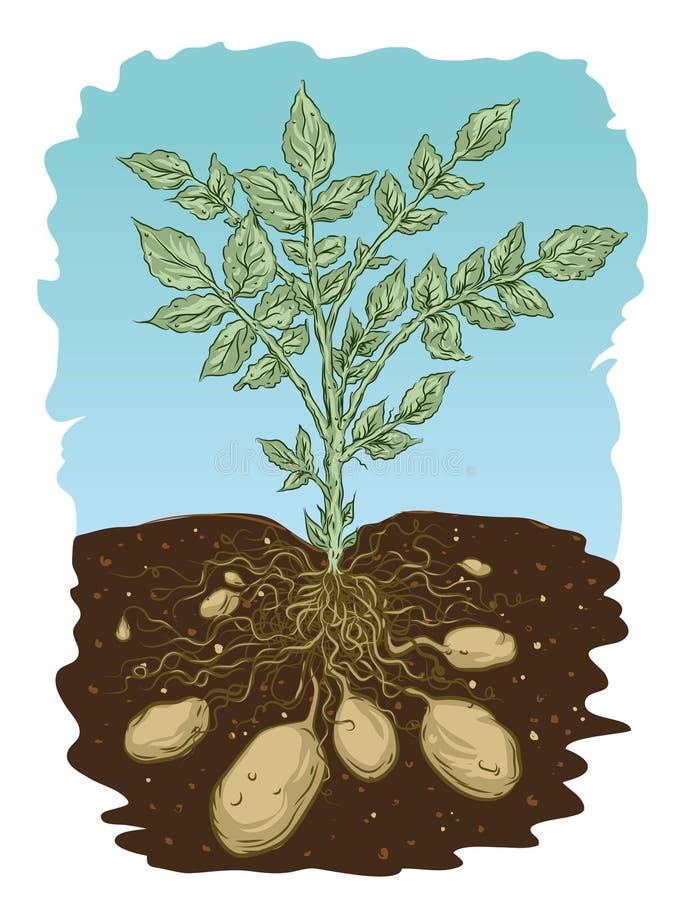 土豆根 向量例证
