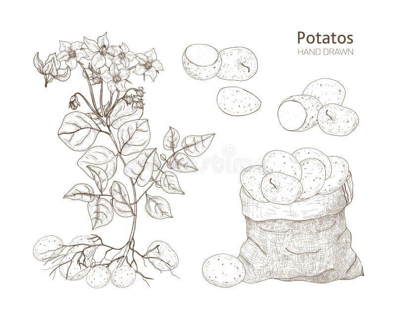 土豆植物典雅的单色植物的图画与花、肿胀和菜的在袋子 手拉可食的庄稼 皇族释放例证