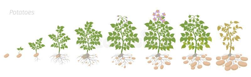 土豆植物庄稼阶段  生长用小锄头植物 生命周期 收获土豆成长动画进步 ?? 库存例证