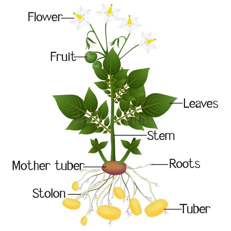 土豆植物的结构在白色背景的 库存例证