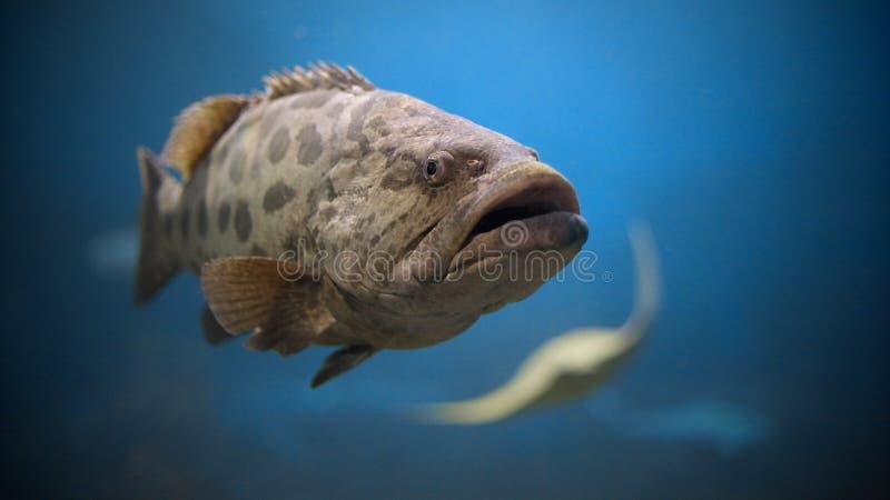 土豆石斑鱼 图库摄影