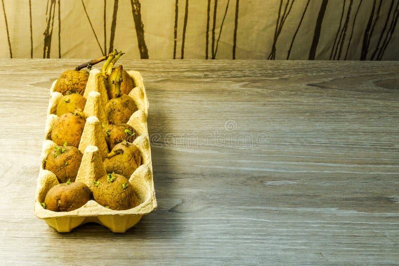 土豆种子,发芽在种植在地面前 免版税库存图片