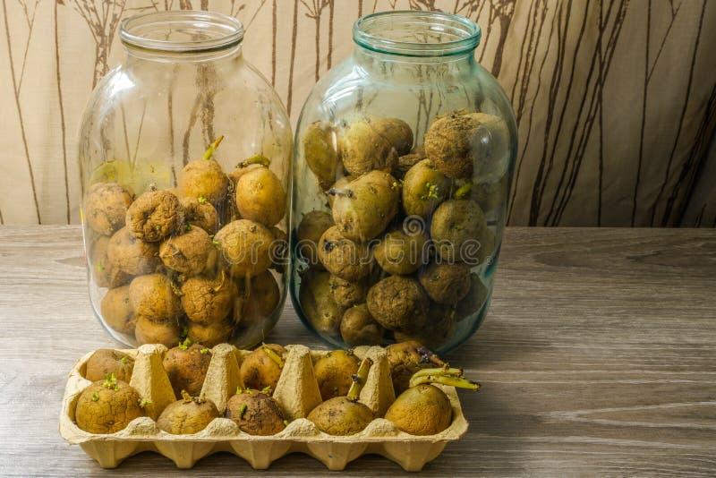 土豆种子,发芽在种植在床上前 免版税库存图片