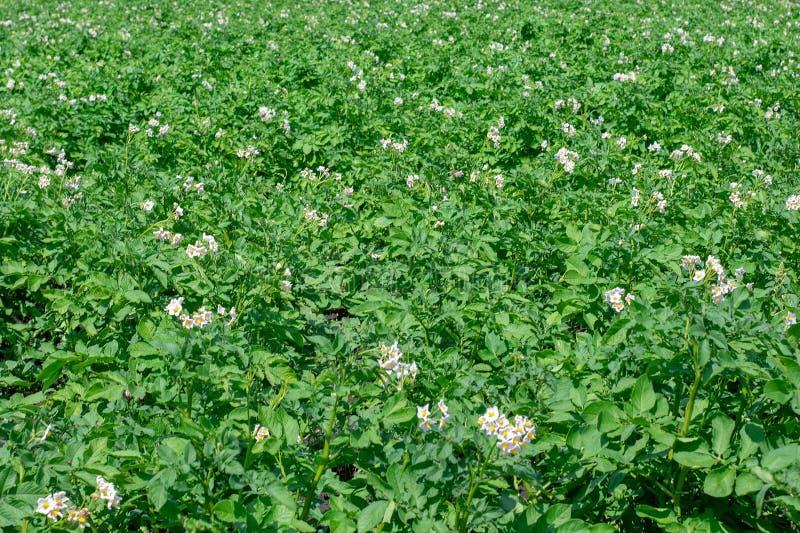 土豆种植园在领域增长 与农田的风景 免版税库存图片