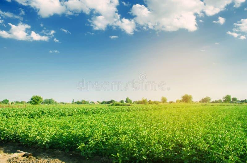 土豆种植园在领域增长 新鲜的健康有机菜 农田农业 库存照片
