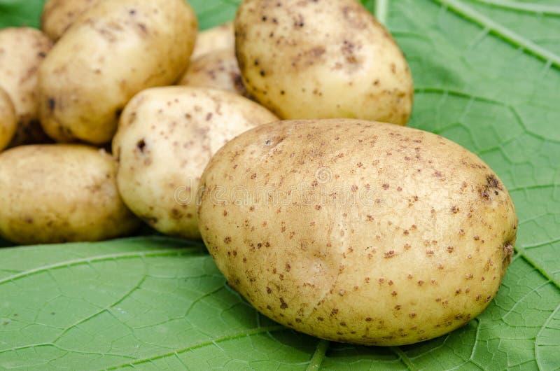 土豆菜园 免版税库存照片