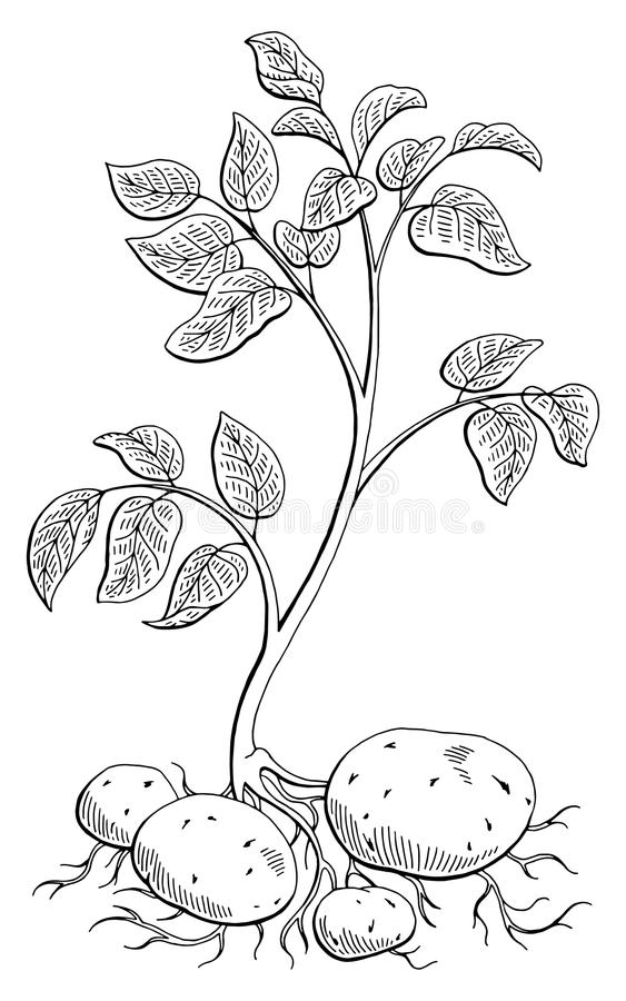 土豆菜植物图表黑白色隔绝了剪影例证 皇族释放例证