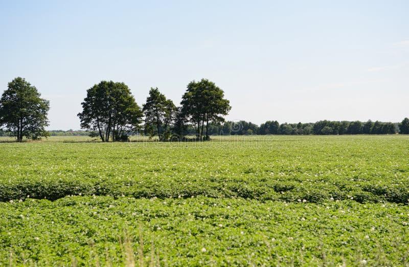 土豆领域在夏天 库存图片