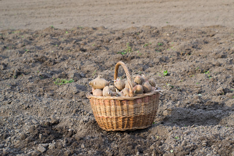 土豆登陆 库存照片