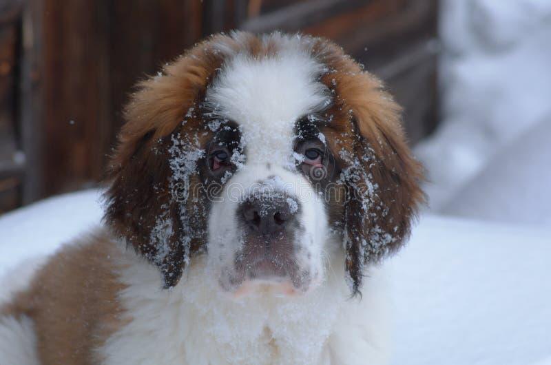 圣伯纳德小狗 库存图片
