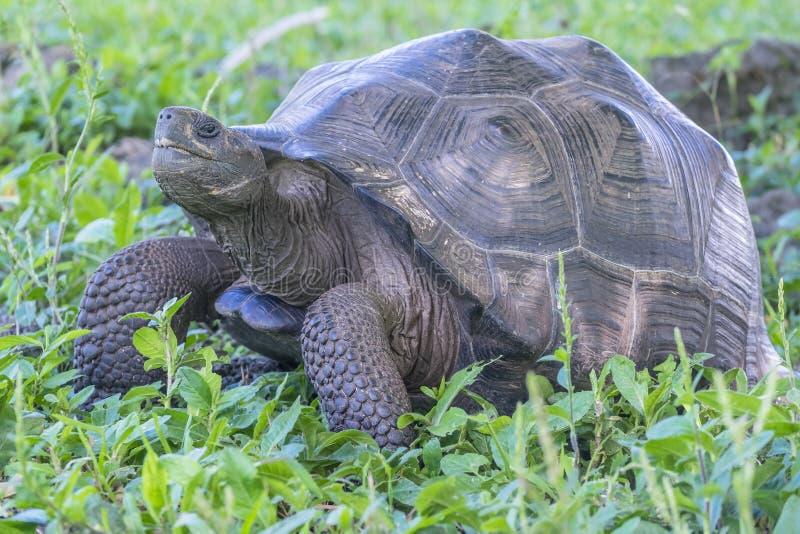 圣克鲁斯巨型草龟在加拉帕戈斯群岛厄瓜多尔11 免版税图库摄影