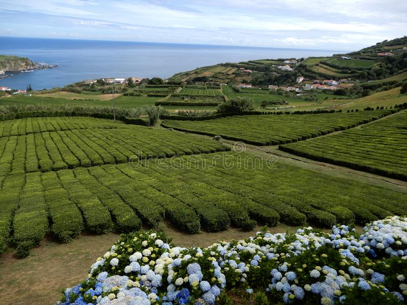 圣地米格尔,亚速尔,葡萄牙小岛的茶园  库存照片