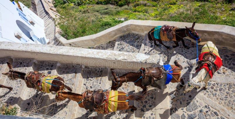 圣托里尼海岛,希腊-在Fira村庄的驴 库存图片