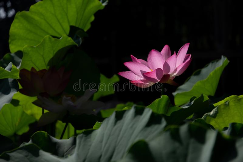 ????? heiliges Lotus stockfotos