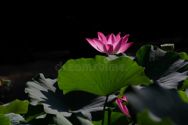 ????? heiliges Lotus lizenzfreies stockfoto