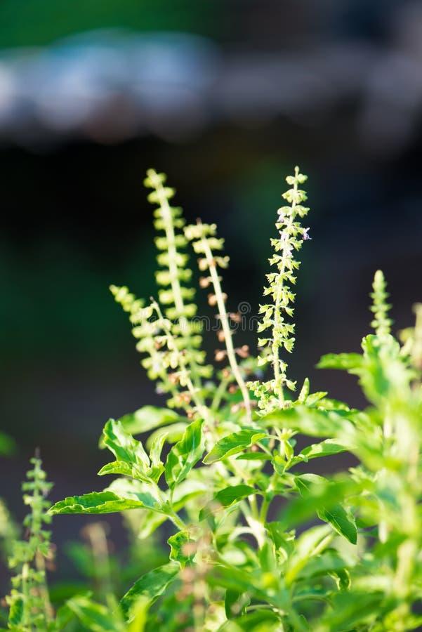 圣洁蓬蒿叶子或罗勒属密室 库存图片