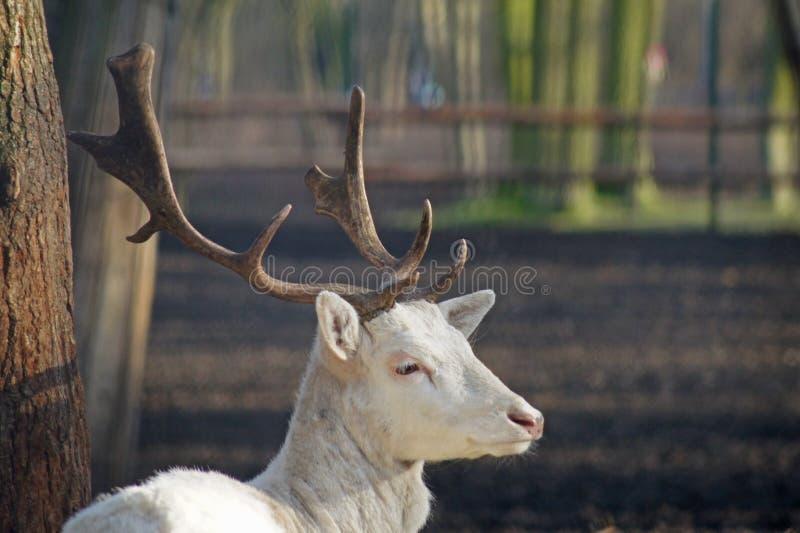 圣洁St Hubert& x27; s鹿,白变种小鹿 免版税库存照片