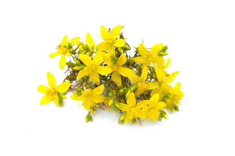 圣约翰` s麦芽酒, tutsan灌木,草本医药金丝桃属植物perforatum植物黄色开花,隔绝在白色背景 免版税库存图片