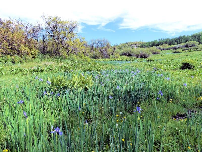 圣胡安山的狂放的虹膜 免版税图库摄影