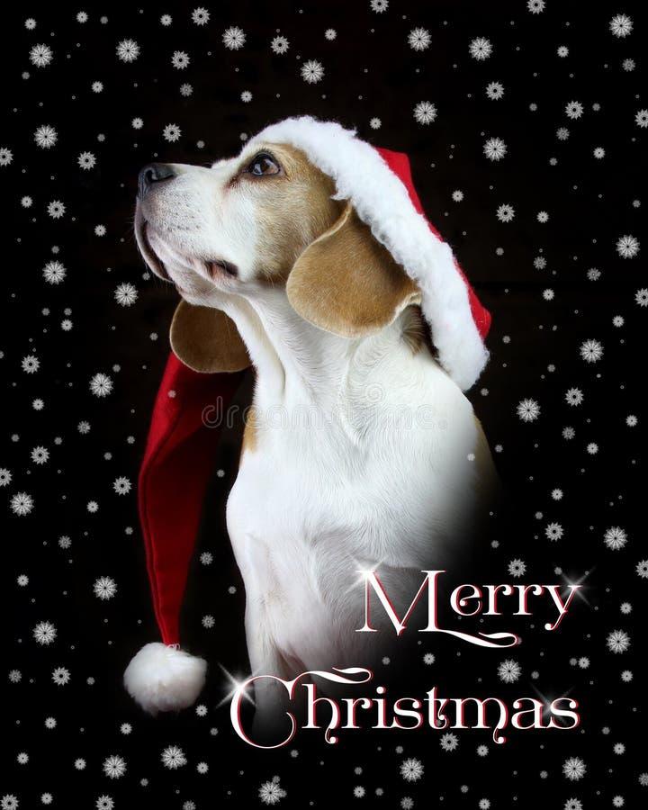 圣诞快乐卡片戴圣诞老人帽子的小猎犬狗 免版税库存照片