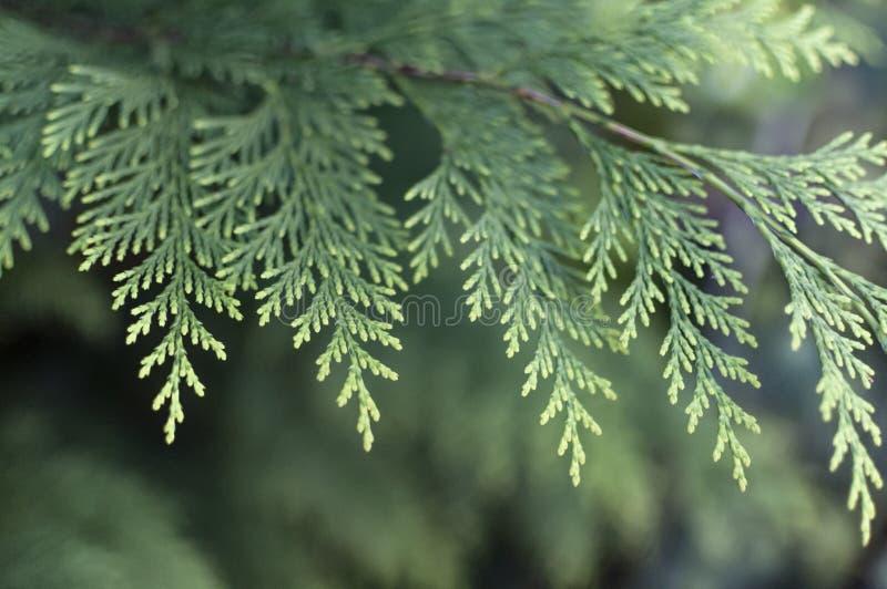 圣诞树关闭,蓝绿色云杉,美好的背景 库存照片