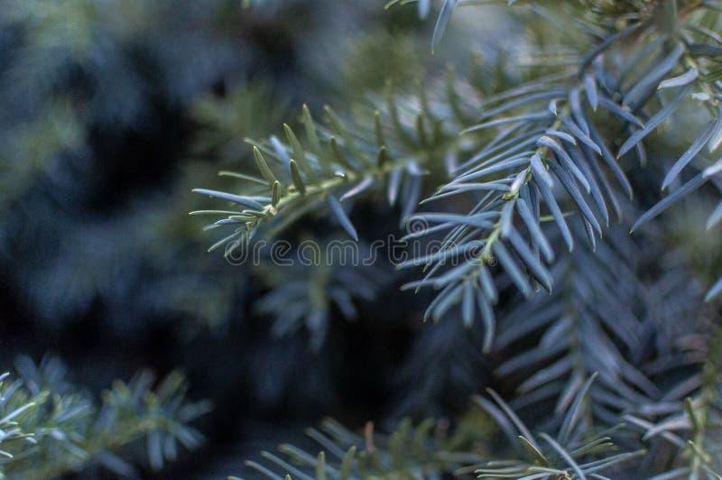 圣诞树关闭,蓝绿色云杉,美好的背景 库存图片