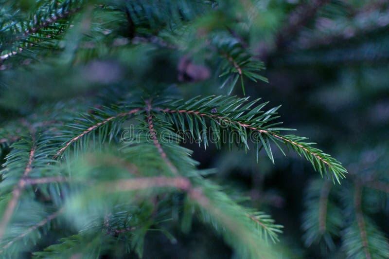 圣诞树关闭,蓝绿色云杉,美好的背景 免版税库存照片